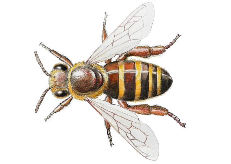 Abeille de ruche
